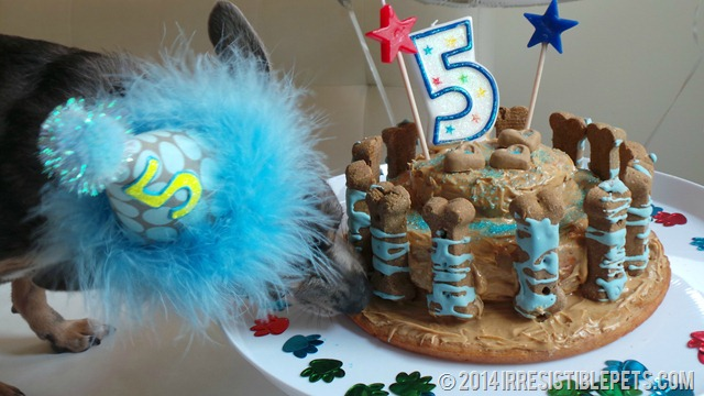 Dog Birthday Cake Recipe With Chuy Chihuahua Thumb