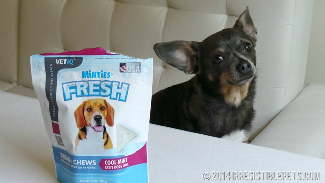 Minties Fresh Breath Chews Chuy Chihuahua