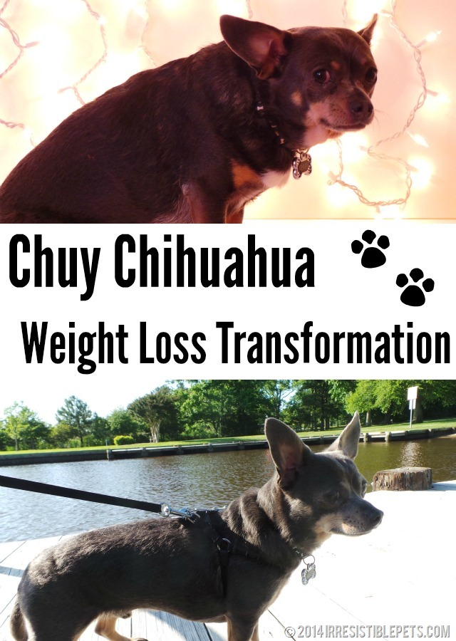 Chuy Chihuahua Weight Loss Transformation - IrresistiblePets.com