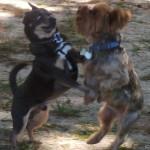 Chuy Chihuahua at the Small Dog Park