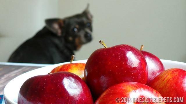 DIY Frozen Apple Dog Treat Recipe with Chuy Chihuahua