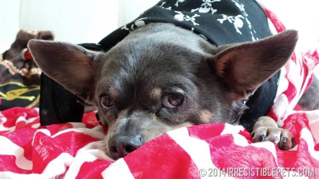 DIY Pirate Dog Costume Chuy Chihuahua Laying Down