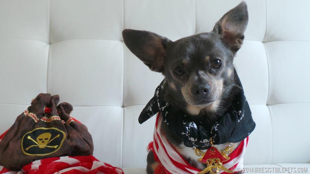 DIY Pirate Dog Costume Chuy Chihuahua & DIY Pirate Dog Costume - Irresistible Pets