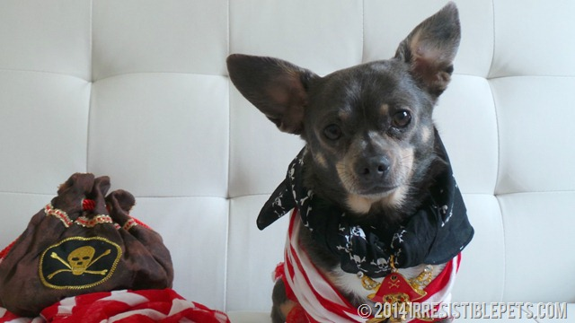 DIY Pirate Dog Costume Chuy Chihuahua