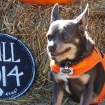 Happy Halloween from Chuy Chihuahua