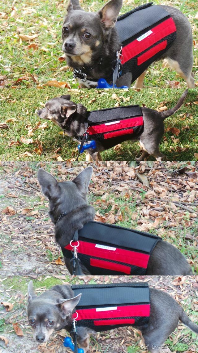 WiggleLess Back Brace with Chuy Chihuahua