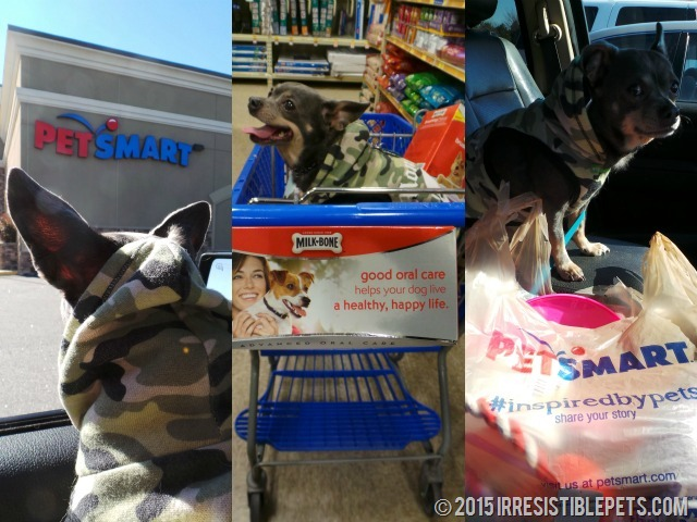 Shopping at PetSmart with Chuy Chihuahua