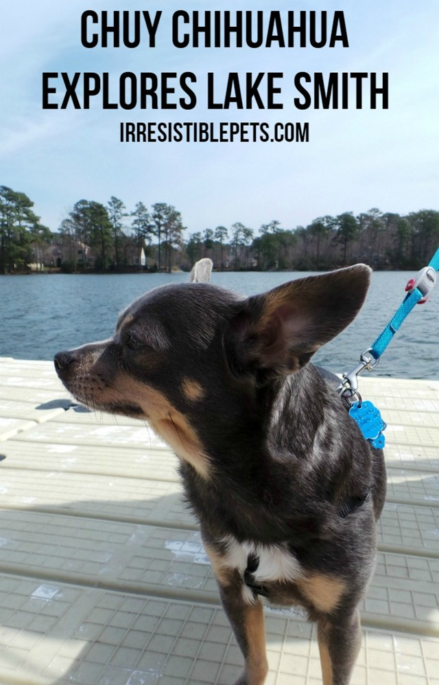 Chuy Chihuahua Explores Lake Smith in Virginia Beach on IrresistiblePets.com