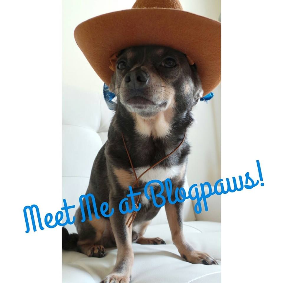 Meet Chuy Chihuahua at BlogPaws