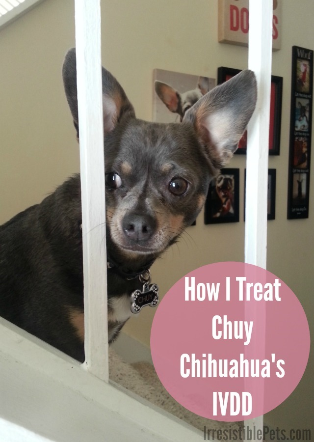 How I Treat Chuy Chihuahua's IVDD Learn More at IrresistiblePets.com