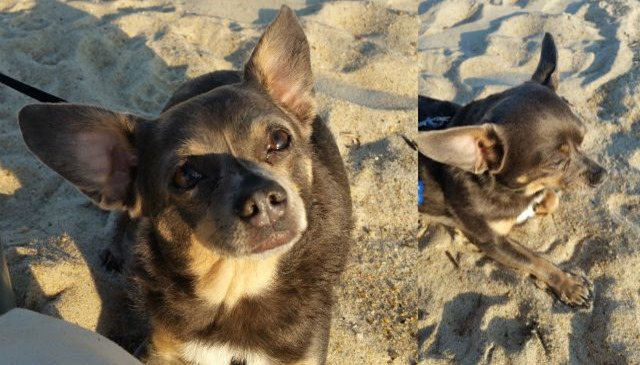 Chuy Chihuahua at the Beach