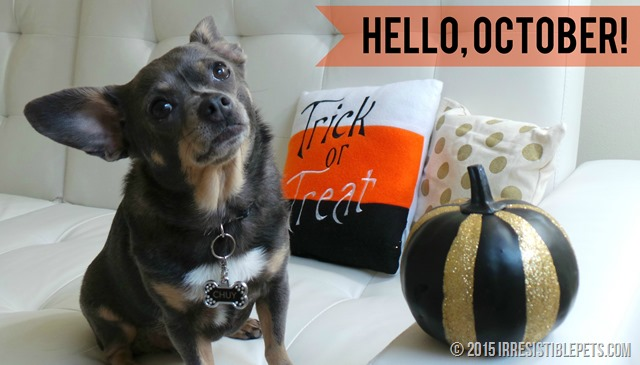Hello October Chuy Chihuahua