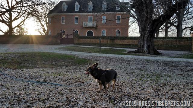 Chuy Chihuahua Colonial Williamsburg (26)