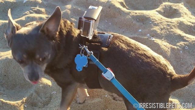 DIY GoPro Chihuahua Harness