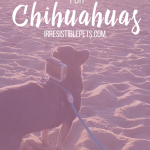 DIY GoPro Harness for Chuy Chihuahua