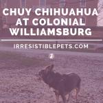 Chuy Chihuahua Visits Colonial Williamsburg
