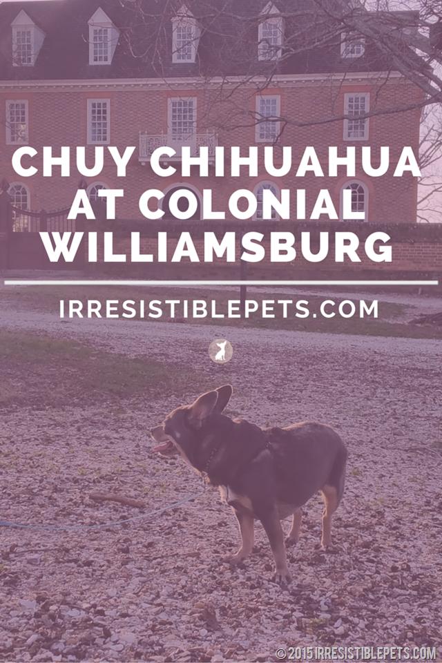 Chuy Chihuahua Visits Dog Friendly Colonial Williamsburg