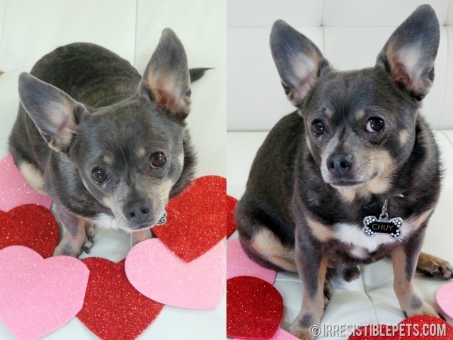 Happy Valentine's Day from Chuy Chihuahua (16)