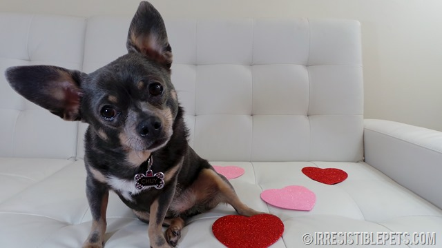 Happy Valentine's Day from Chuy Chihuahua (1)