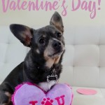 Happy Valentine's Day from Chuy Chihuahua