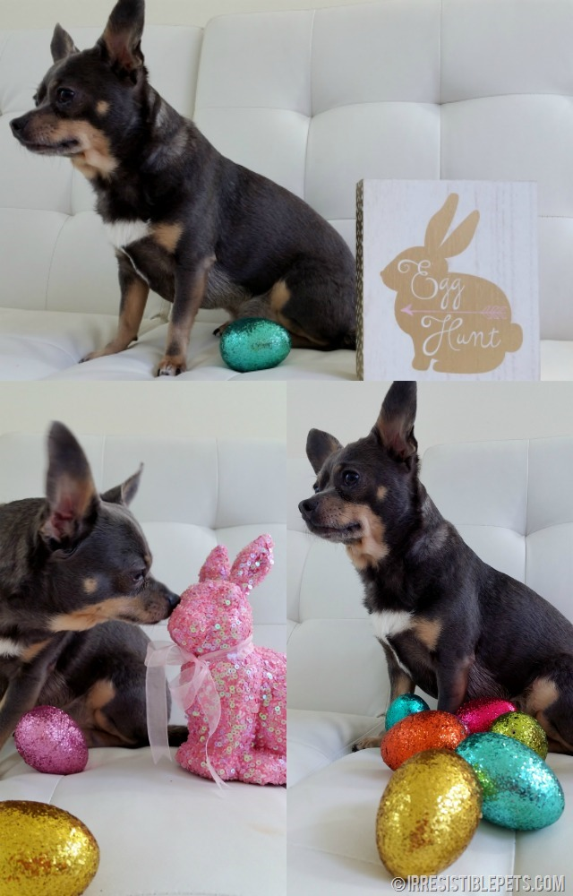 Chihuahua Easter Egg Hunt 2