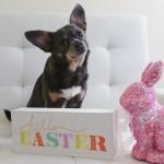 Chuy Chihuahua Celebrates Easter