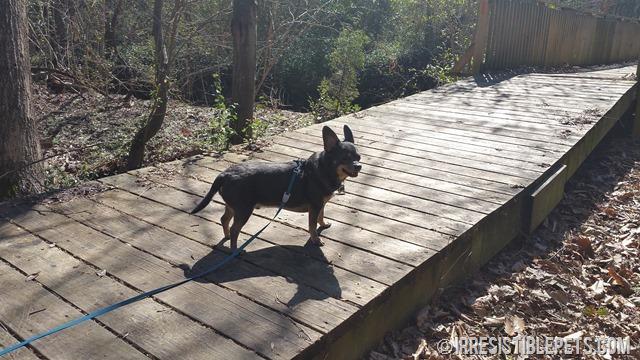 Chuy Chihuahua Chesapeake Arboretum (9)