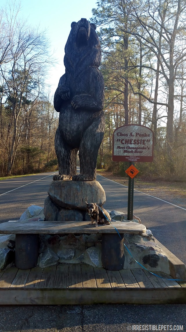 Chuy Chihuahua at the Great Dismal Swamp Trail (5)
