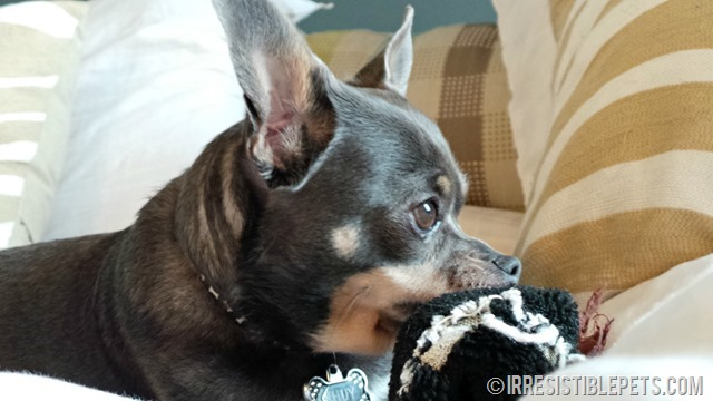 Chuy Chihuahua Ramp Training