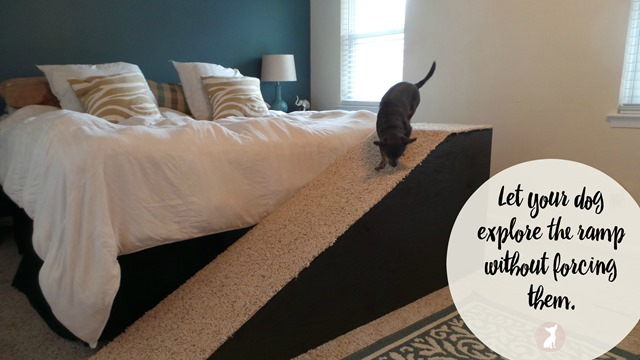 How To Train Your Chihuahua to Use a Dog Ramp
