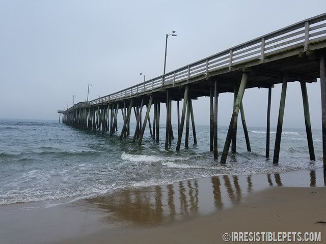 Chuy Chihuahua Virginia Beach Fishing Pier (10)