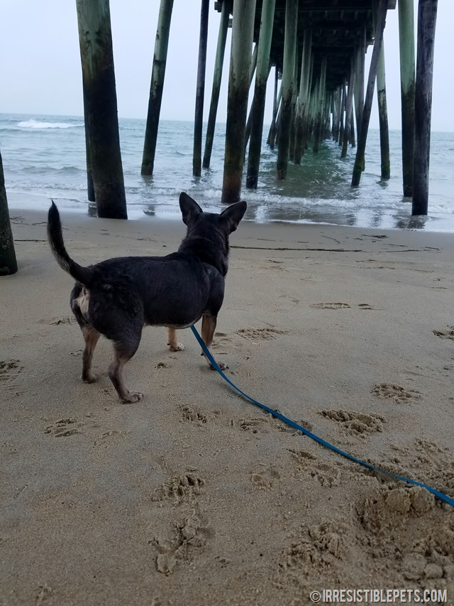 Chuy Chihuahua Virginia Beach Fishing Pier (2)