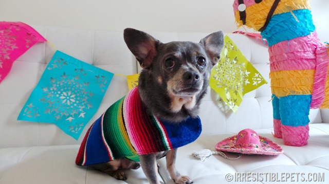 Cinco de Mayo with Chuy Chihuahua (12)
