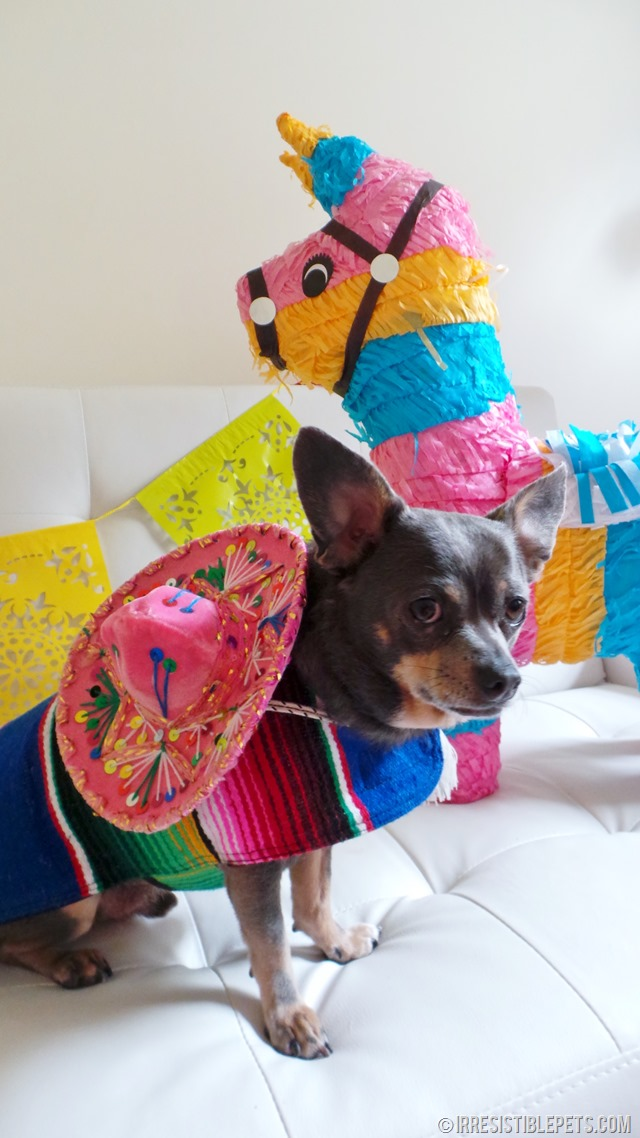 Cinco de Mayo with Chuy Chihuahua (14)