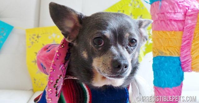 Cinco de Mayo with Chuy Chihuahua (15)