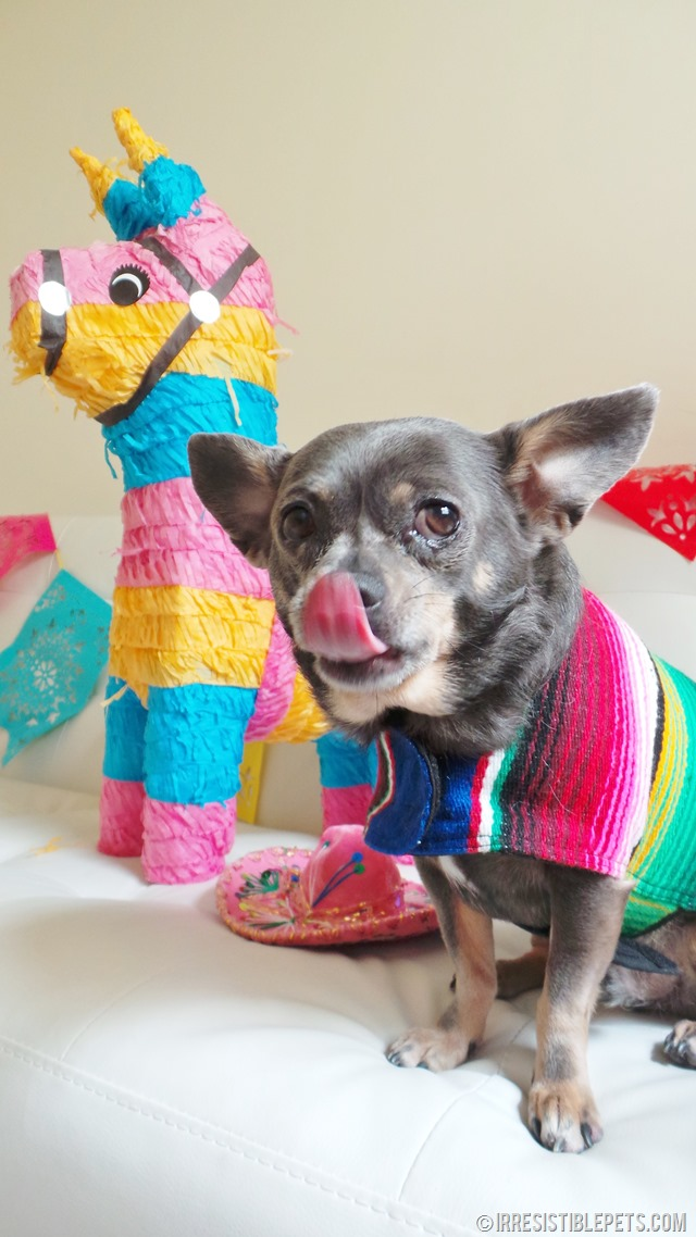 Cinco de Mayo with Chuy Chihuahua (17)