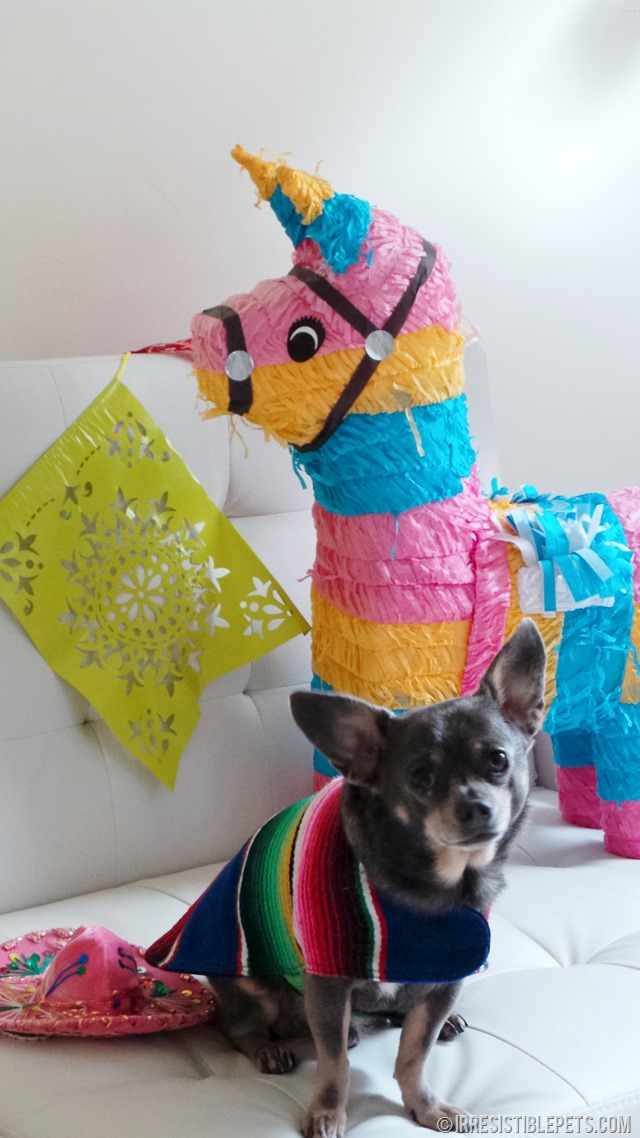 Cinco de Mayo with Chuy Chihuahua (23)