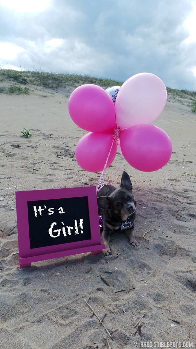 It's a Girl - Chihuahua Gender Reveal