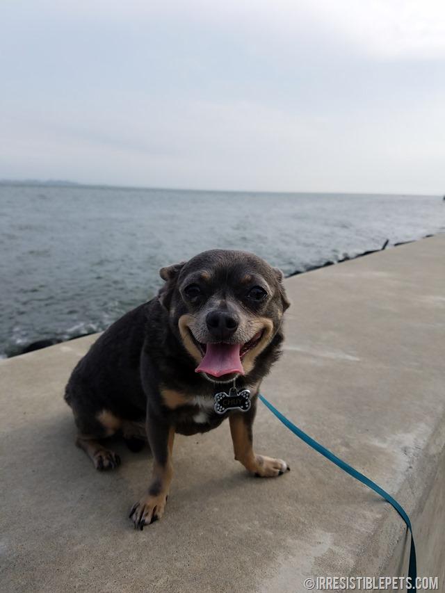 Chuy Chihuahua Walk at Ft Monroe Hampton VA (20)