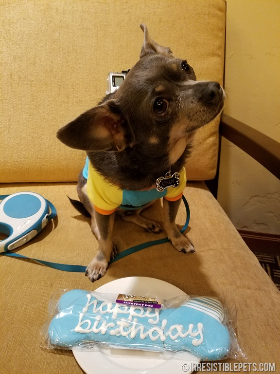 Chuy Chihuahua 7th Birthday at BlogPaws