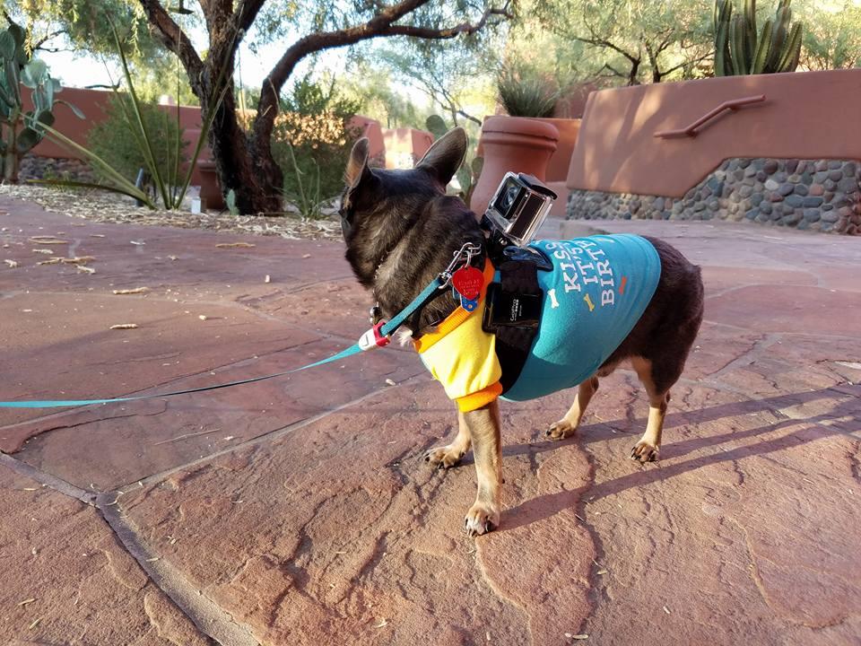 Chuy Chihuahua BlogPaws Phoenix Sheraton Grand Wild Horse Pass