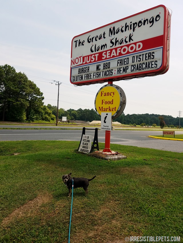 Chuy Chihuahua's Eastern Shore Adventure (6)