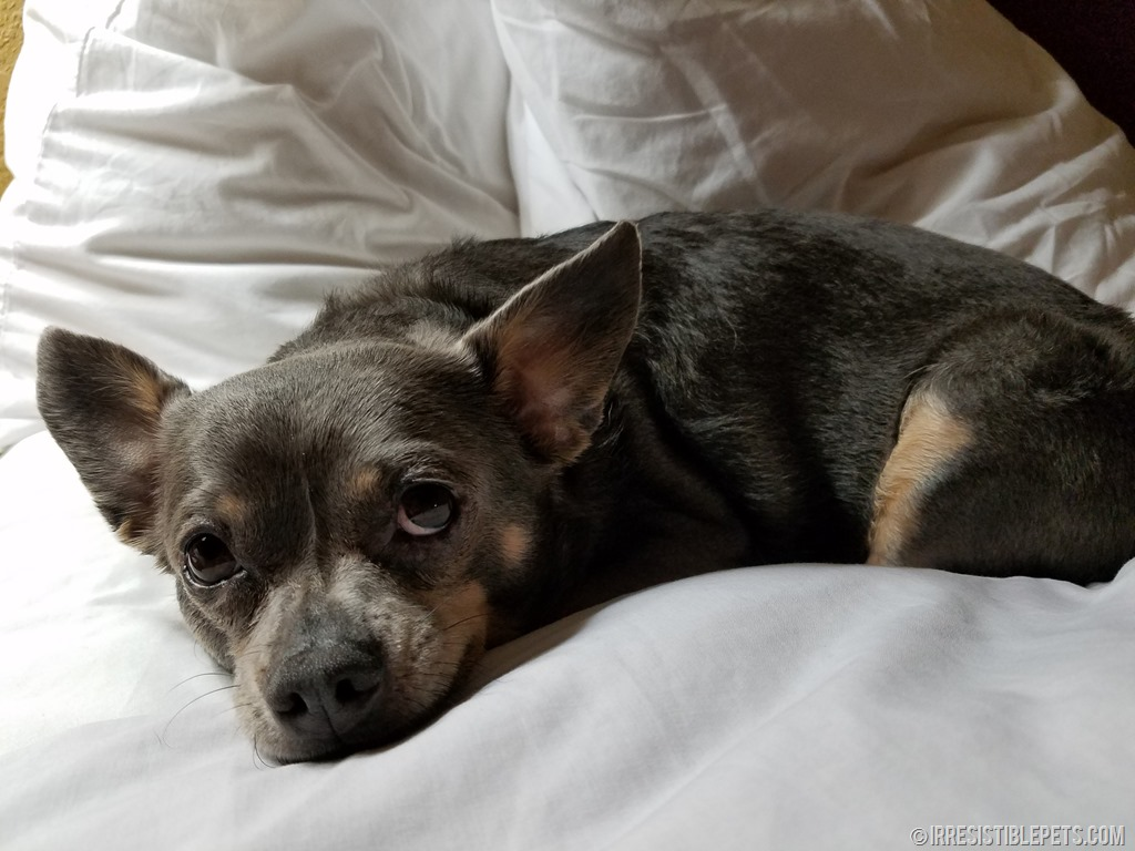 the ultimate guide to dog friendly savannah irresistible petschuy chihuahua dog friendly hotel