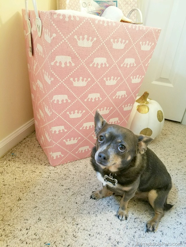 Chuy Chihuahua in the Baby Nursery