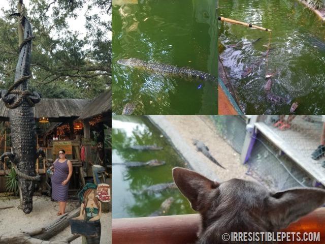 The Crab Shack Alligators
