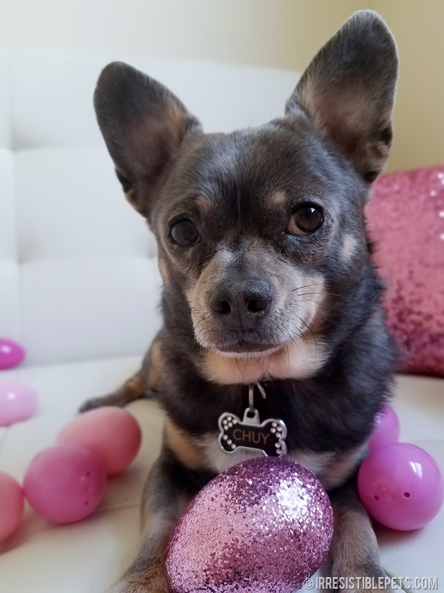 Chuy Chihuahua Easter 2017 (15)