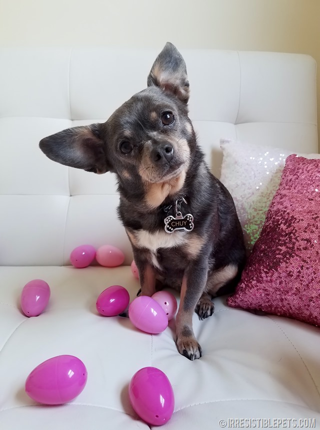 Chuy Chihuahua Easter 2017 (1)