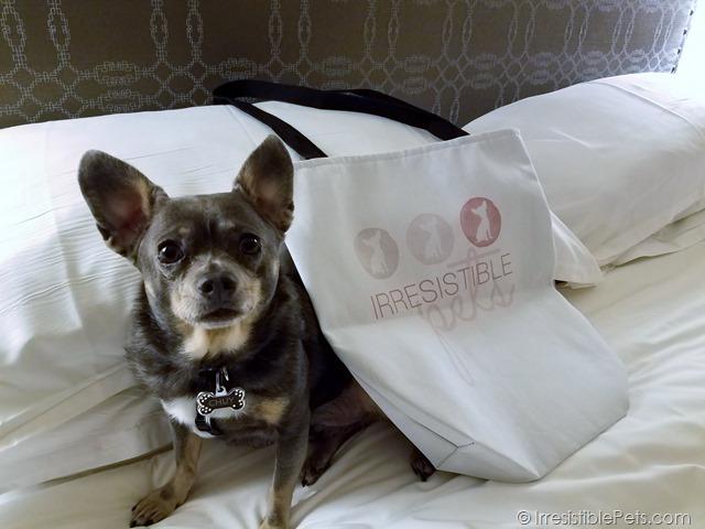 Chuy Chihuahua BlogPaws Irresistible Pets