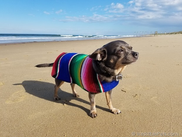 Tips For Taking Your Dog To The Beach Chuy Chihuahua