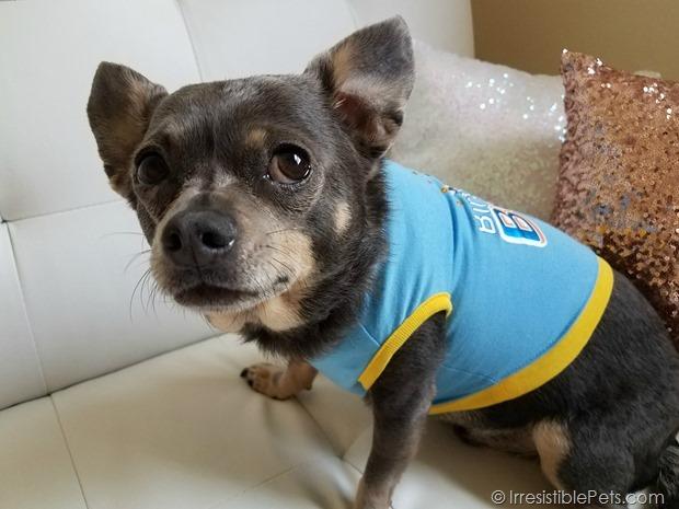 Chuy Chihuahua Birthday 2017 (24)